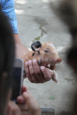 Meeting the new-born piglets on the visit of the pig farm with classmates